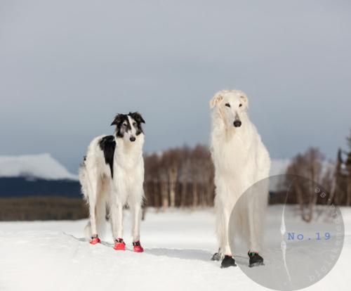 borzoi-dog-dogphoto-dogphotography