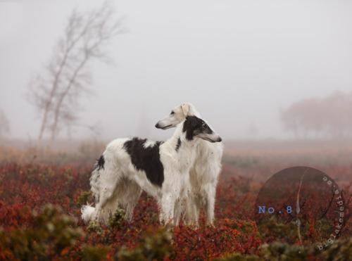 borzoi-dog-dogphotography-dogphoto-