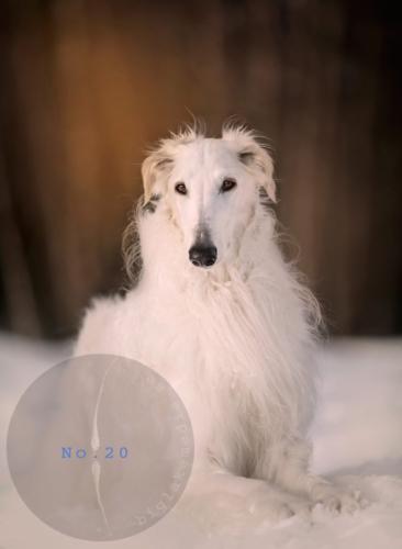 borzoi-dog-photography-dogphoto