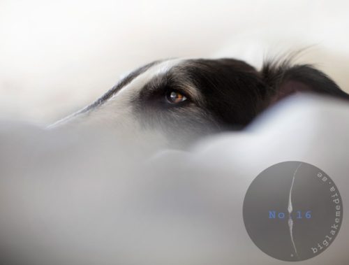 borzoi-russian-girl-dogphotography-sighthound