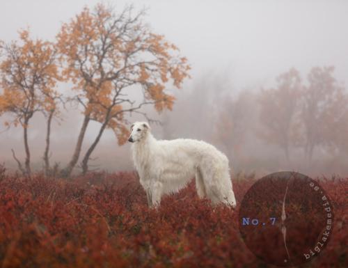 borzoi-sighthound-sighthoundphotography-dogphoto