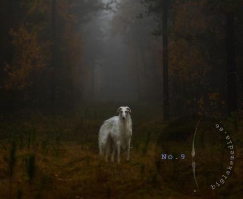 borzoi-sighthound-sighthoundphotography-windhunefotografie