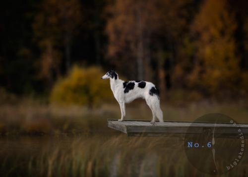 borzoiphotography-borzoi-dogphotography-dogphoto