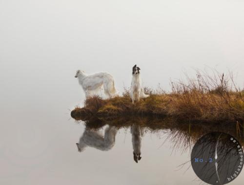 dogphotography-borzois-sighthound-wolfhound