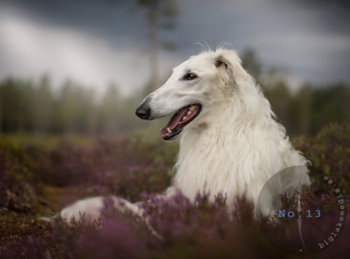 dogphotography-sighthoundfoto-hundfotografie