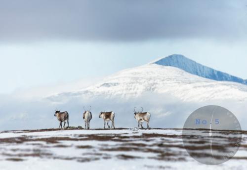 reindeer-naturephotography-samiculture