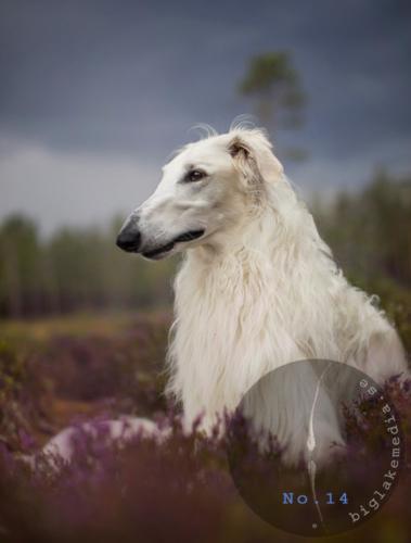 sighthoundphotography-dogphotography-dogphoto