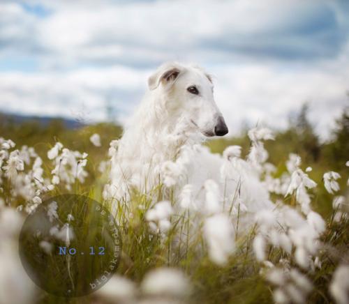 sighthoundphotography-windhund-dogphotography-borzoi
