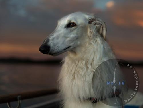 zarwoe-borzoi-dog-dogphoto-dogphotography
